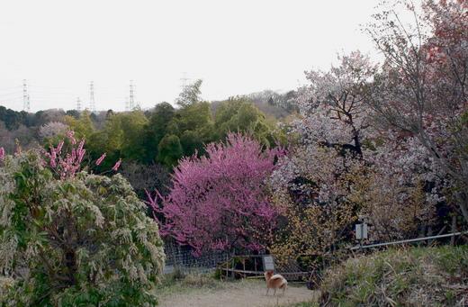 400年桜.jpg